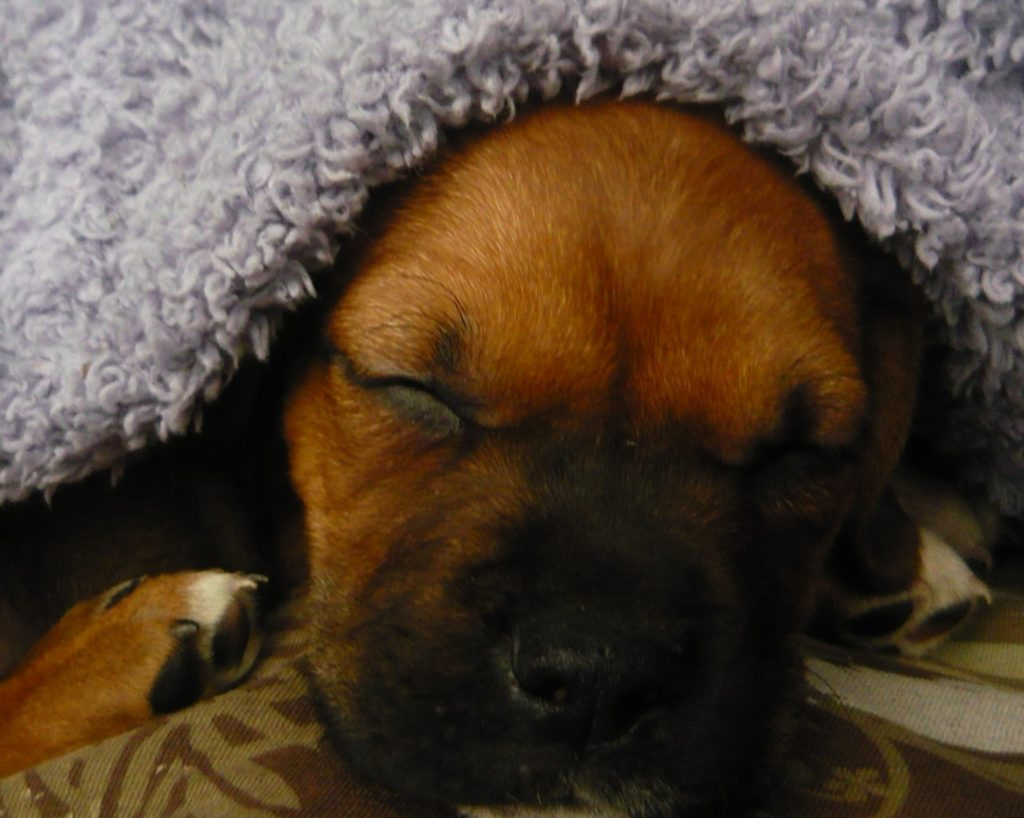 Dog Sleeping With Sherpa Blanket