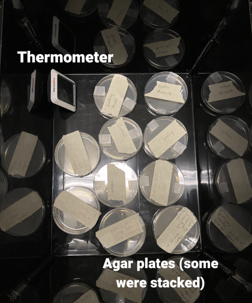 Agar plates in plastic box with thermometer